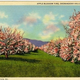 Apple Blossom Time, Shenandoah Valley of Virginia.